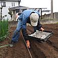 春ジャガ種芋を植え付ける