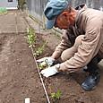 ハンダマの根株を移植