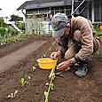 ロメインレツの苗を定植