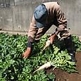 春大根(三太郎)の初物を収穫