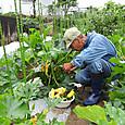 4/2に定植したズッキーニの実を収穫開始