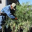 のらぼう菜の種を採種・保管