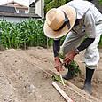専用の苗指し棒を使いからいも苗を植え付ける