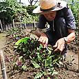 改植したハンダマの若芽を収穫