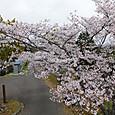 郷中内の桜は既に満開に