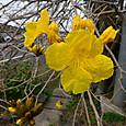 南薩路に咲く「イペー」の花