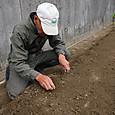 生姜の分割まとめ植え
