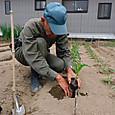 トウモロコシ苗を定植