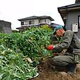 のらぼう菜を整理