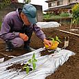 根洗い・浅植でピーマン苗を定植