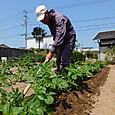 芽欠き後に追肥を施し春ジチャガイモに土寄せを