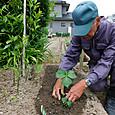 長寿野菜「アシタバ」を植え付ける