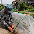 中早生キャベツ苗を定植し寒冷紗で覆う