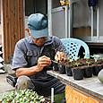 キャベツ等の苗を1号ポットに移植