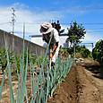 ネギの根元に追肥・土寄せ作業