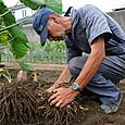 サトイモの初物を掘り上げる